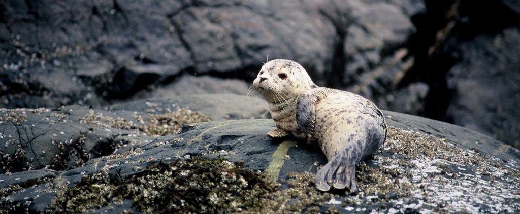 baby seal on rock - Broughton archipeligo